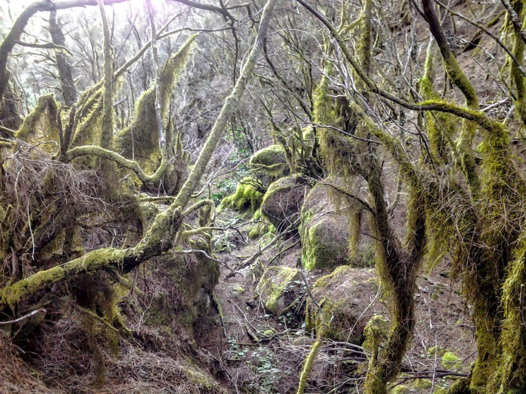 Mlžný les, kmeny a větve porostlé mechy