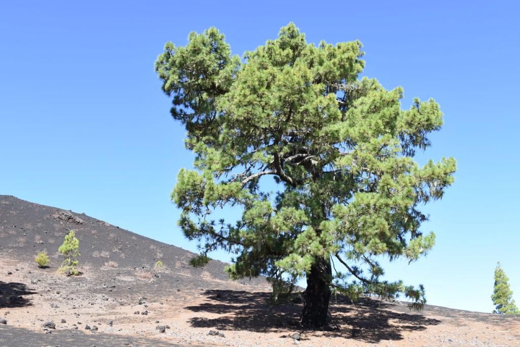 Jeden strom - borovice - modrá obloha